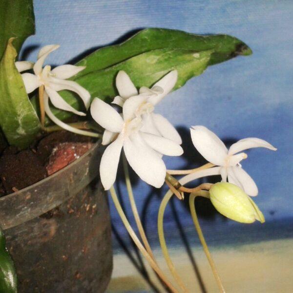 Aerangis mystacidii, blommor