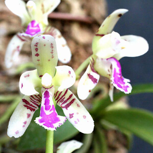 Phalaenopsis japonica, blommor