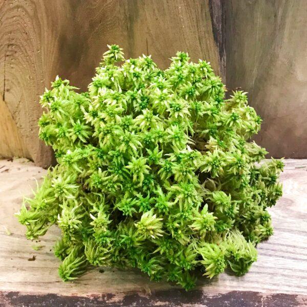 Sphagnum, vitmossa i knippe