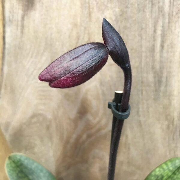 Paphiopedilum Maudiae, Vinicolor 'Black Jack', knopp