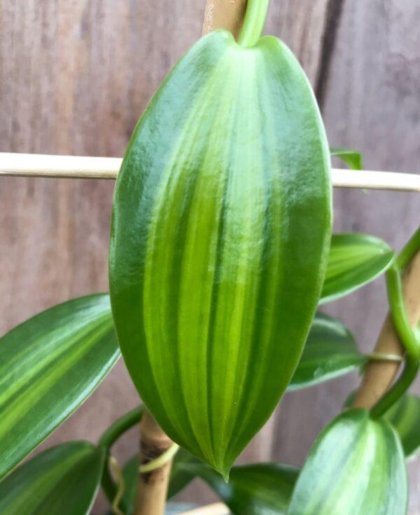 Vanilla planifolia, variegata, blad