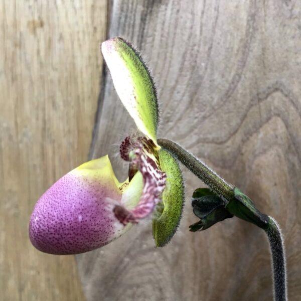 Paphiopedilum Pinocchio, blomma, sidvy