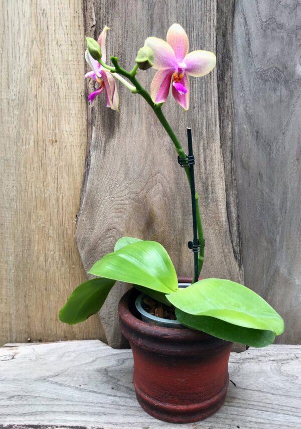 Phalaenopsis Sweet Memory 'Liodoro', en stängel