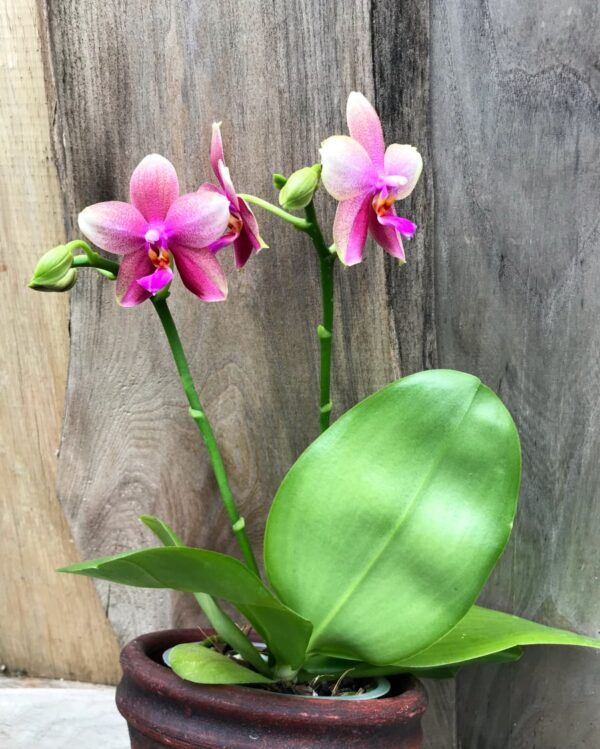 Phalaenopsis Sweet Memory 'Liodoro', två stänglar