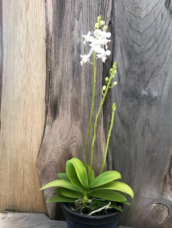 Phalaenopsis pulcherrima, alba, planta i blom