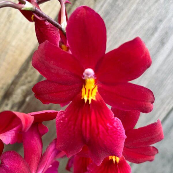 Burrageara Nelly Isler, blomma