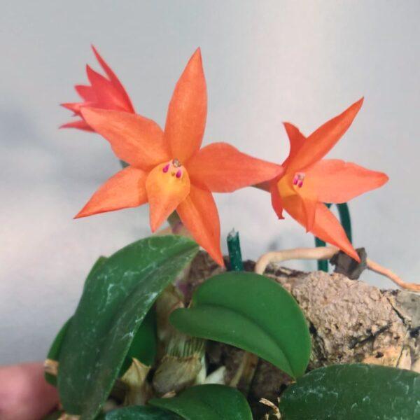 Cattleya cernua, blomma