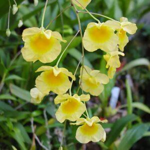 Dendrobium aggregatum, blommor