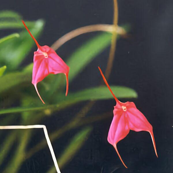 Masdevallia barlaeana, blommor