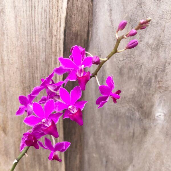 Phalaenopsis Purple Gem, blommor