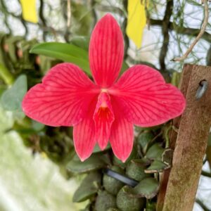Cattleya brevipedunculata, blomma