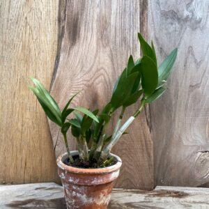 Dendrobium Berry Oda, planta