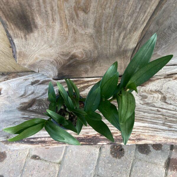 Dendrobium Berry Oda, uppifrån