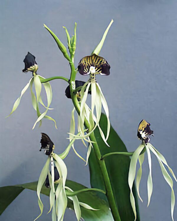 Prosthechea cochleata, blommor