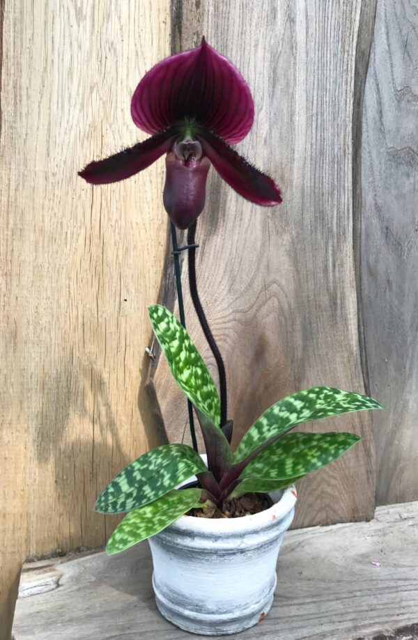 Paphiopedilum Maudiae 'Vinicolor Schwartze Madonna', planta med blomma