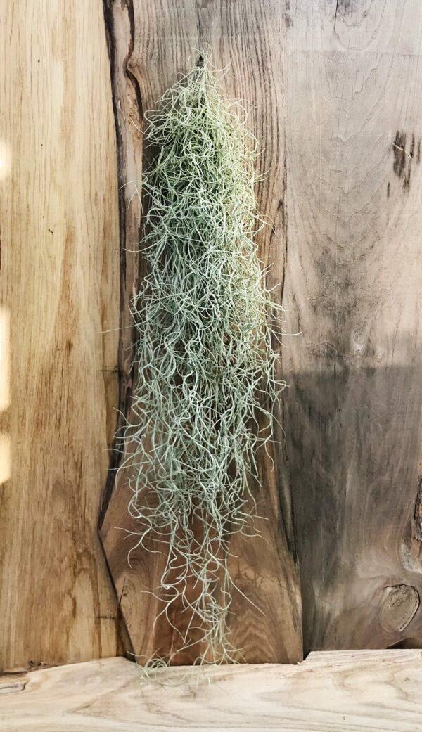 Tillandsia usneoides, större planta