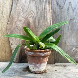 Paphiopedilum spicerianum, planta