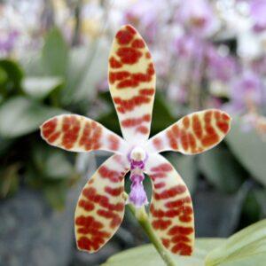 Phalaenopsis bastianii 'Philippines' x 'TK', blomma