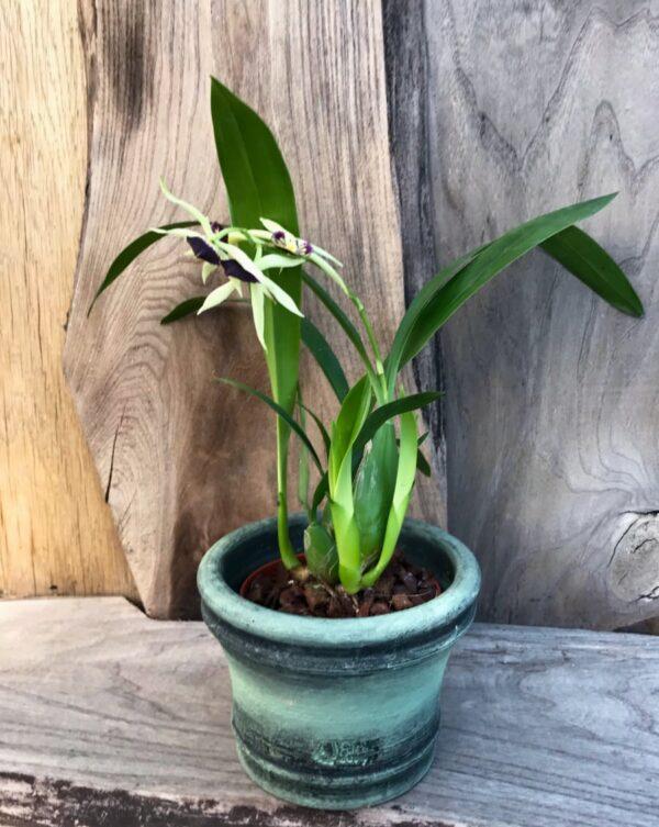 Prosthechea Green Hornet, i blom