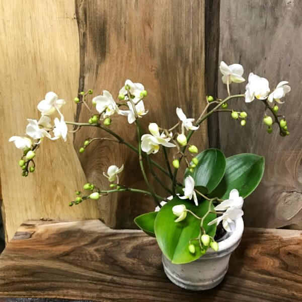 Phalaenopsis Wild Orchid
