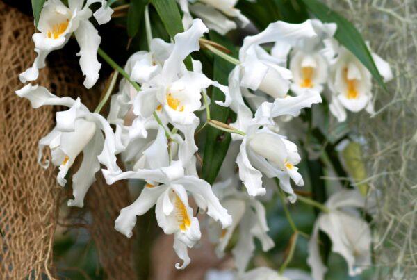 Coelogyne cristata, blommor