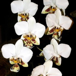 Phalaenopsis-stuartiana.jpg