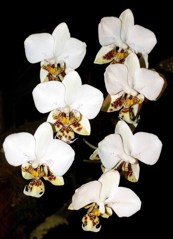 Phalaenopsis stuartiana, blomstängel med blommor