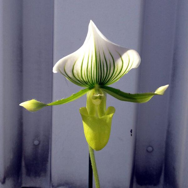 Paphiopedilum-Maudiae--blomma-sol.jpg