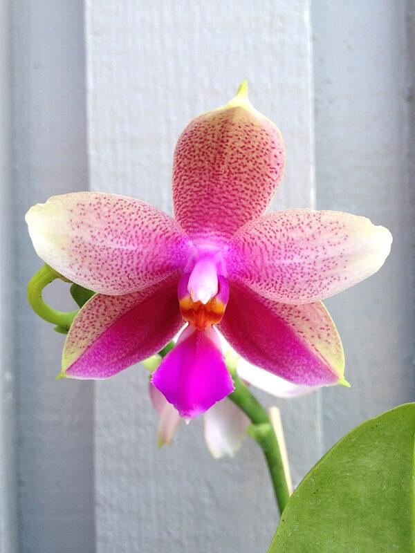 Phalaenopsis-Liodoro--blomma.jpg