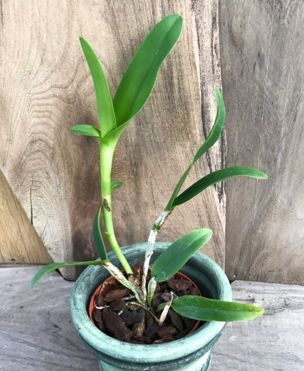 Guarianthe aurantiaca 'Mashima Spots', stor nog att blomma