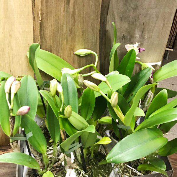 Cattleya-hybrid, 12 plantor med knoppar