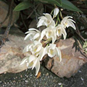 Dendrobium × delicatum, blommor