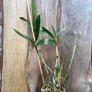 Dendrobium x delicatum, planta