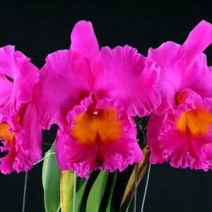 Rhyncholaeliocattleya Pink Empress 'Bright Sun', blommor