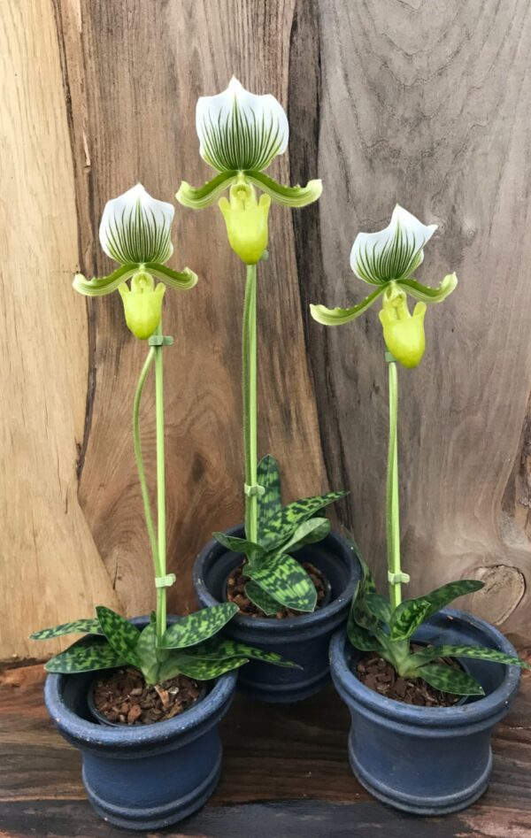 Paphiopedilum Maudiae 'Femma', tre plantor