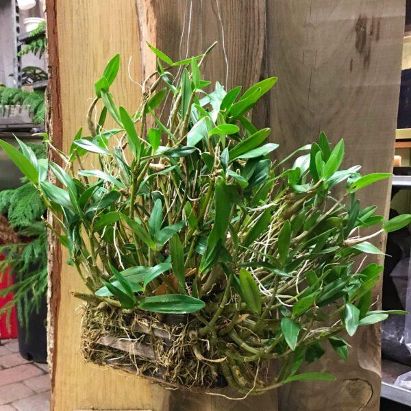 Dendrobium kingianum, samlingsexemplar i stor korg