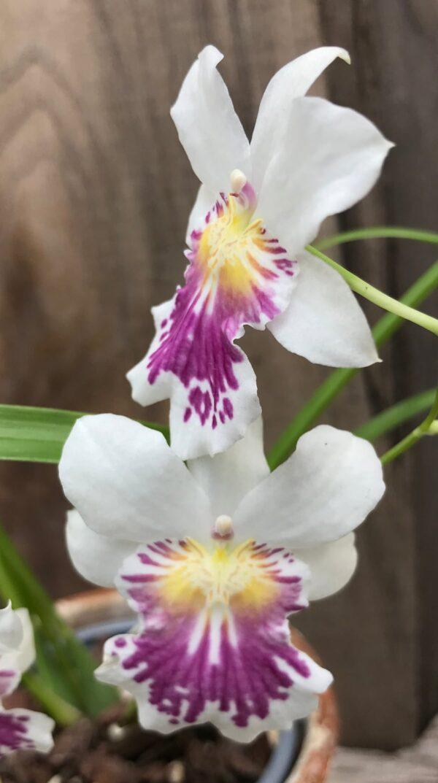 Miltoniopsis phalaenopsis, blommor