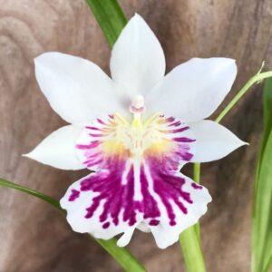 Miltoniopsis phalaenopsis, blomma