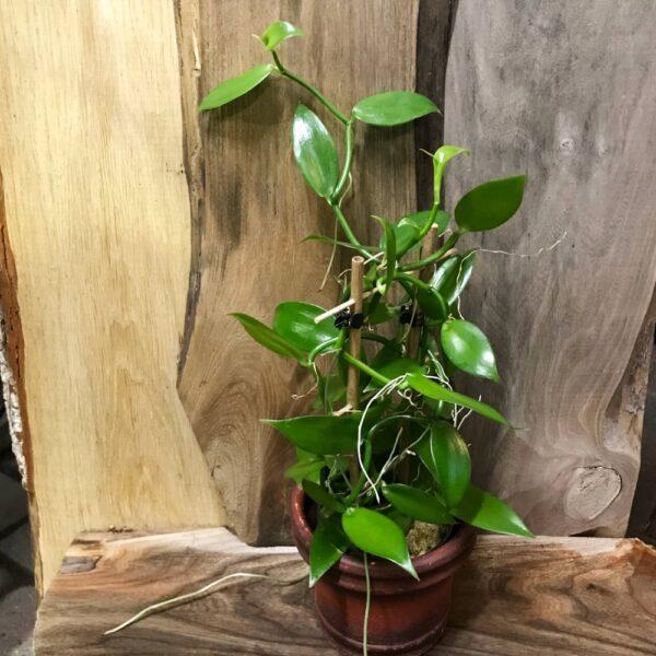 Vanilla planifolia i 12 cm bred kruka