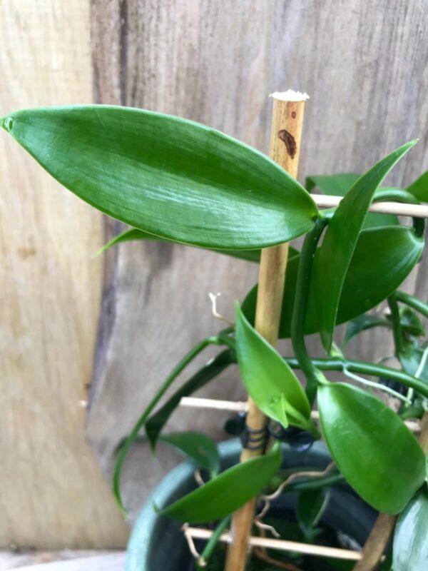 Vanilla planifolia, blad