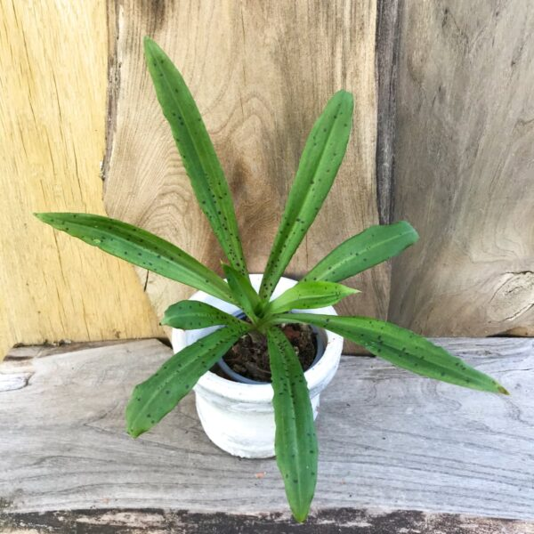 Stenoglottis longifolia, planta
