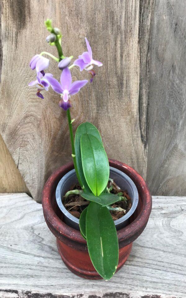 Phalaenopsis Purple Gem 'Aida', planta med stängel