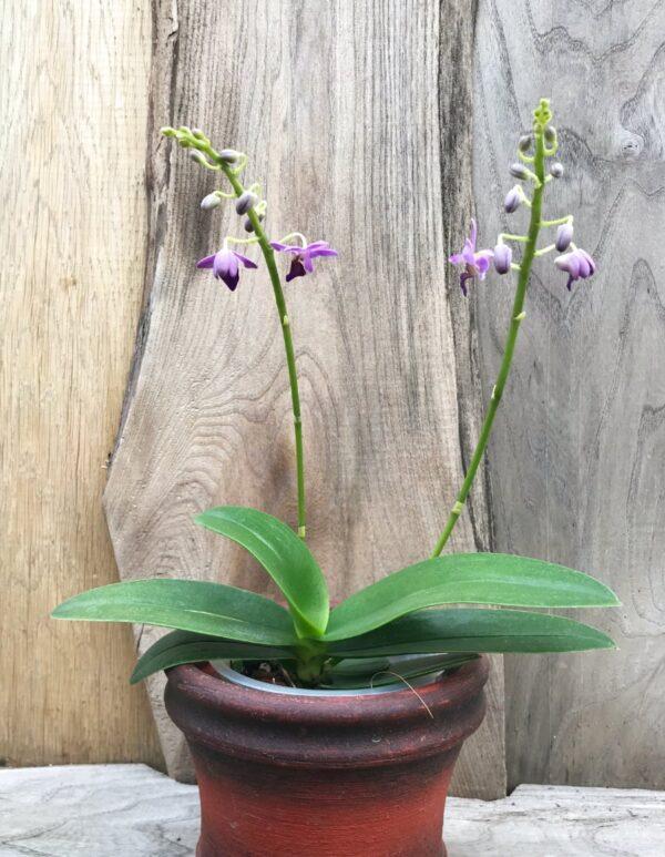 Phalaenopsis Purple Gem 'Aida', två stänglar på planta
