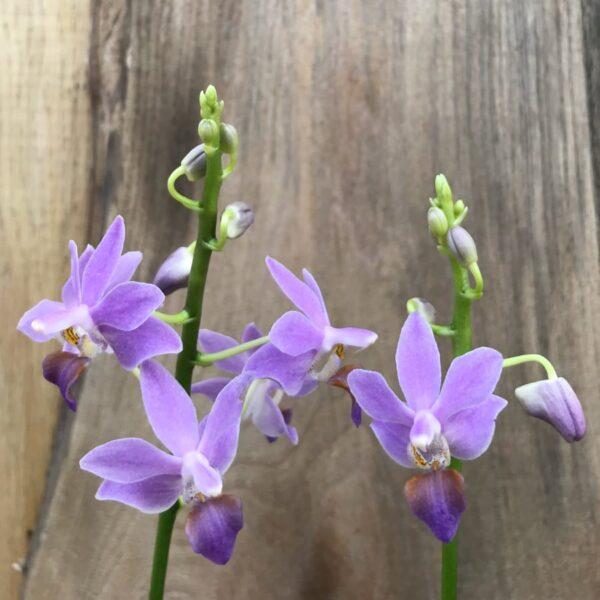 Phalaenopsis Purple Gem 'Aida', två stänglar