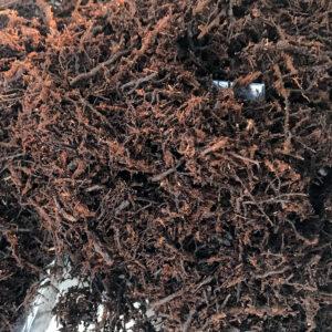 Dicksonia (tree fern) i små delar