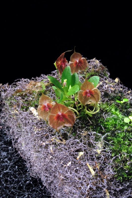 EpiWeb med orkidé