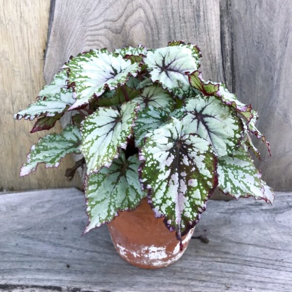 Begonia Beleaf Asian Tundra, vuxen planta