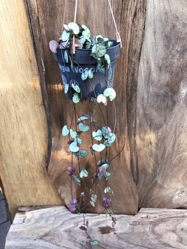 Ceropegia woodii, vuxen planta