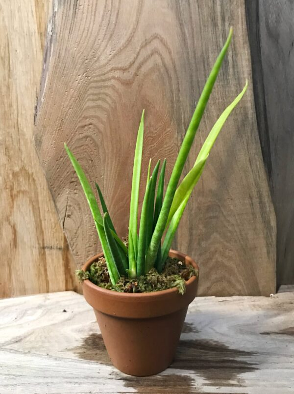 Sansevieria bacularis 'Mikado', vuxen planta
