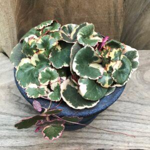 Saxifraga stolonifera 'Tricolor', vuxen planta